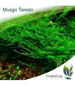 Taiwan moss (Taxiphyllum alternans) Musgo Taiwan