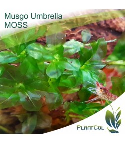 Umbrella Moss (Rhodobryum Grandifolium) Musgo Sombrilla
