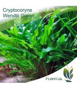 Criptocorina Cryptocoryne Wendtii Green Verde