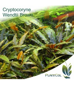 Criptocorina Cryptocoryne Wendtii Brown Marrón