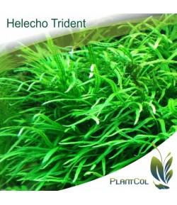 Microsorum Pteropus Trident Helecho