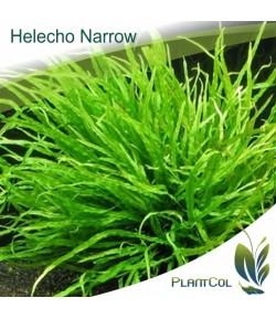 Helecho Narrow Aguja
