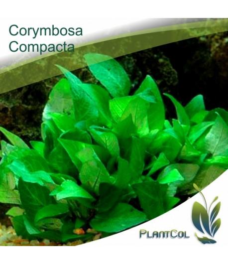 Hygrophila Corymbosa Compacta