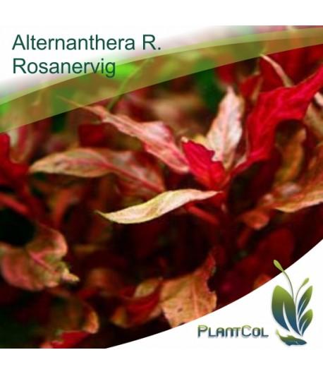 Altenanthera Reineckii Rosanervig