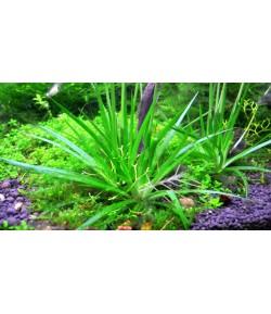 Eriocaulon Cinereum planta acuática de raíz