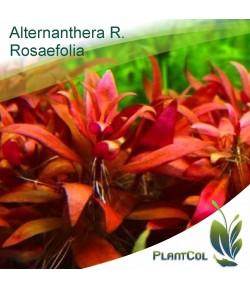 Alternanthera Rosaefolia Planta acuática natural acuario