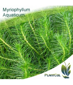 Myriophyllum aquaticum planta natural acuario