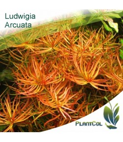 Ludwigia Arcuata