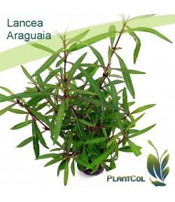 Lancea Araguaia