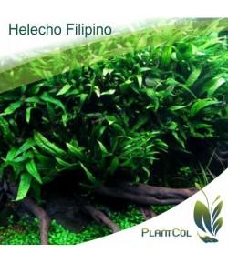 Microsorum Pteropus Var. Philippine
