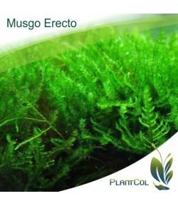 Erect Moss (Musgo Erecto)