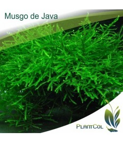 Musgo De Java