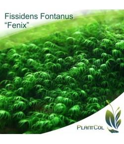 Musgo Fissidens Fontanus (Fenix)