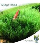 Musgo Flama