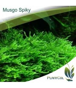 Musgo Spiky