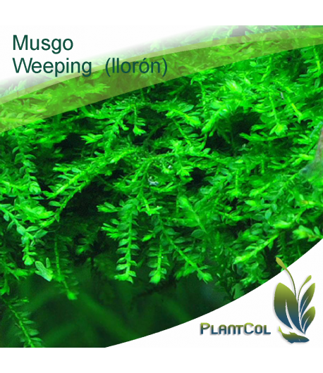 Musgo Weeping