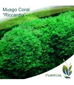 Riccardia Sp. Coral Moss Musgo