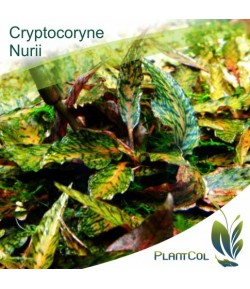 Criptocorine Nurii