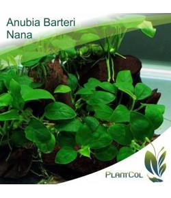 Anubia Barteri Nana