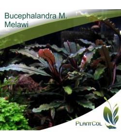 Bucephalandra Motleyana Melawi