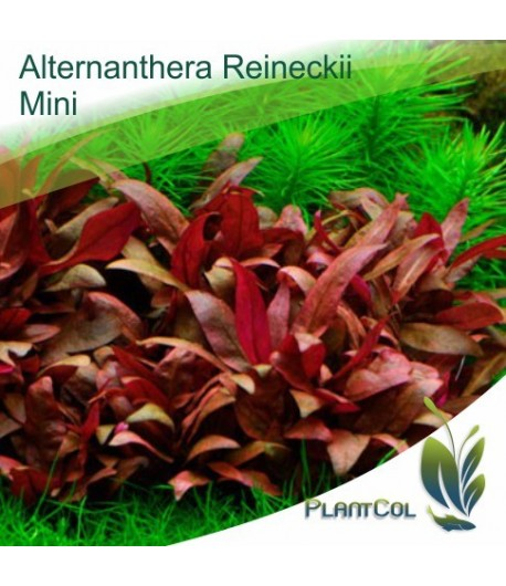 Alternanthera Reineckii Mini