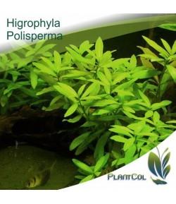 Higrophyla Polisperma