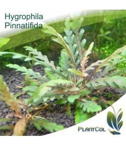 Hygrophila Pinnatífida