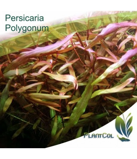 Persicaria Sp. Poligonum