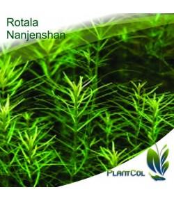 Rotala Nanjenshan