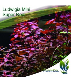 Ludwigia Sp 'Mini Súper Red'