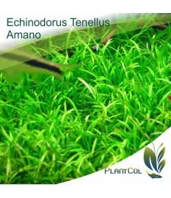 Echinodorus Tenellus Amano
