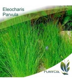 Eleocharis Minima Parvula planta Tapizante acuática