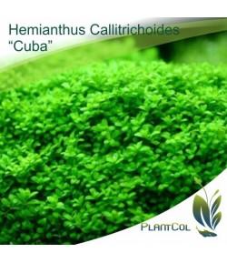 Hemianthus Callitrichoides Cuba