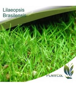 Lilaeopsis Brasiliensis planta tapizante acuática