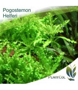 Pogostemon Helferi planta natural acuática
