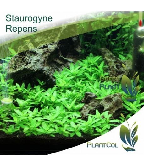 Staurogyne Repens