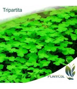 Hydrocotyle Tripartita planta tapizante natural