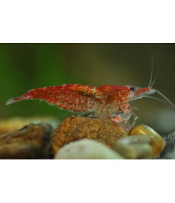 Neocaridina Red Cherry Gambas