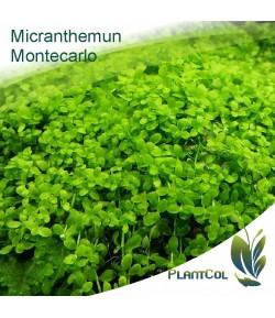 Micranthemum Montecarlo Planta Tapizante