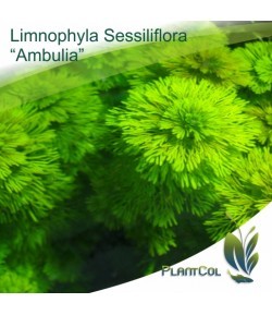 "Limnophila Sessiliflora ""Ambulia"""