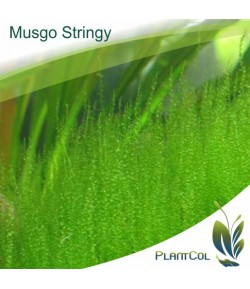 Musgo Stringy