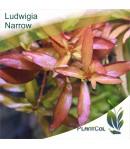 Ludwigia Narrow