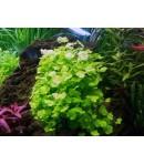 Cardamine Lyrata Planta natural acuática